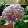 紫陽花おすそわけ:てまりてまり