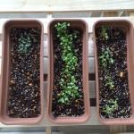 続・家庭菜園 野菜たちの芽が出てきました
