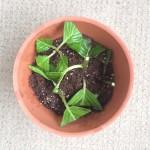 紫陽花「てまりてまり」育て方と挿し木の方法